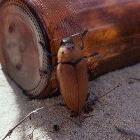 Kúrós kisállatok: ausztrál díszbogár