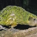 Kakapó -  az új-zélandi csajozógép