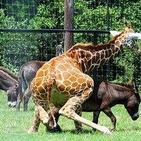 Amit mindig tudni akartál a zsiráfokról