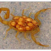 Miért világítanak a skorpiók és hol van a seggük?