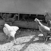 Fejetlen csirke