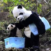 Hogy veszel rá egy pandát a barcogásra?