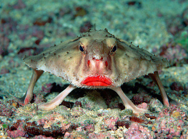 1-red-lipped-batfish.jpg