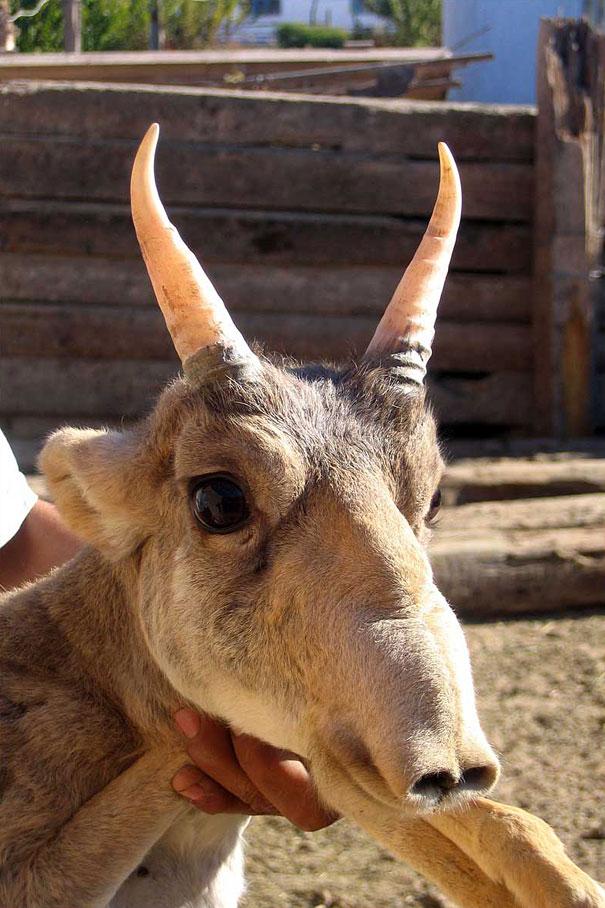 5-saiga-antelope.jpg