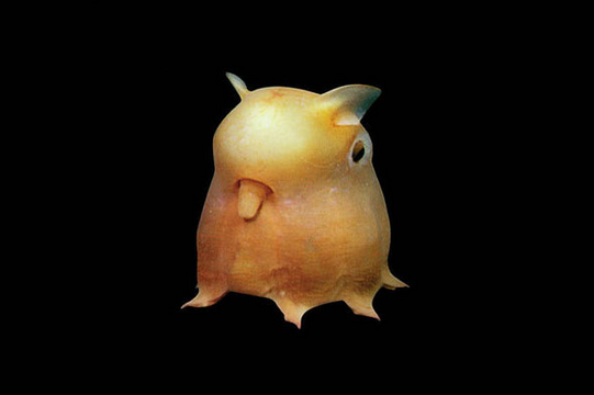 7-dumbo-octopus.png