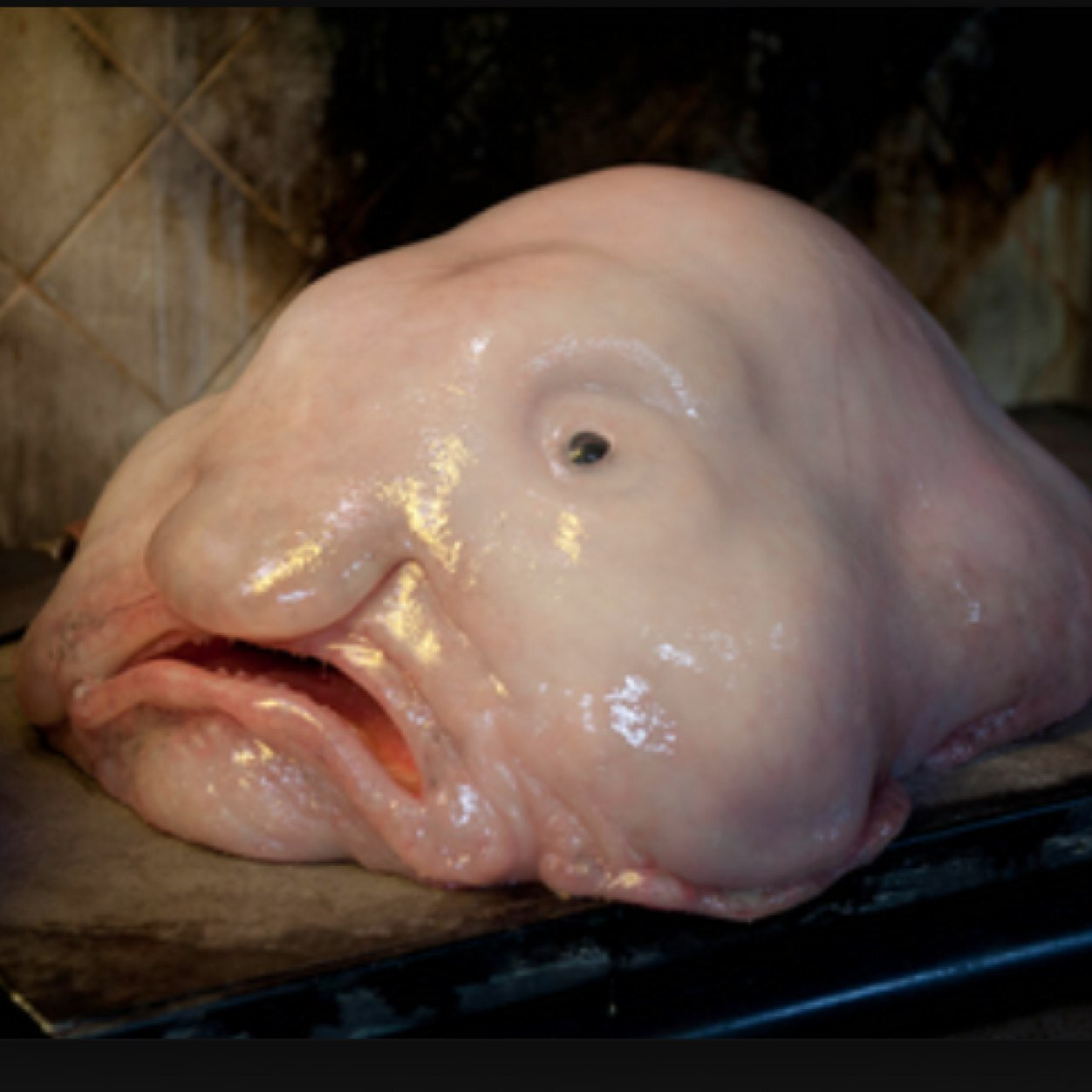 Blob The Ugliest Animal in the World Joy Sorman Olivier Tallec Sarah Klinger on Amazoncom FREE shipping on qualifying offers Blob the fish is excited Hes