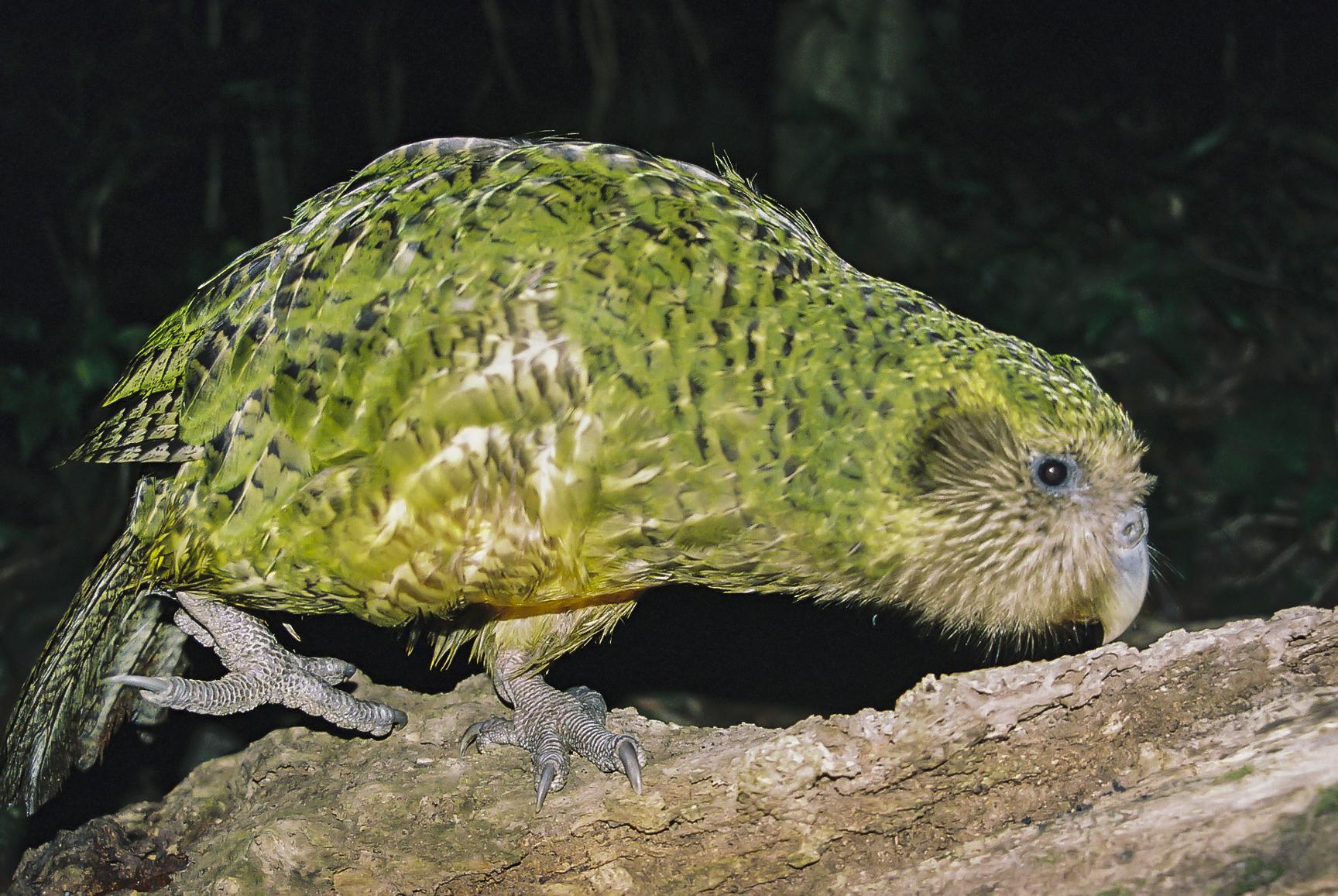 kakapo_dvw2007.jpg