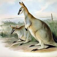 Sétáltak a régi kenguruk