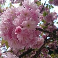 Utazz Japánba 500 forintért – Sakura ünnep a Füvészkertben