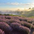 Amit a lila csodaszerről tudni érdemes! A balatoni levendula múltja és jelene.