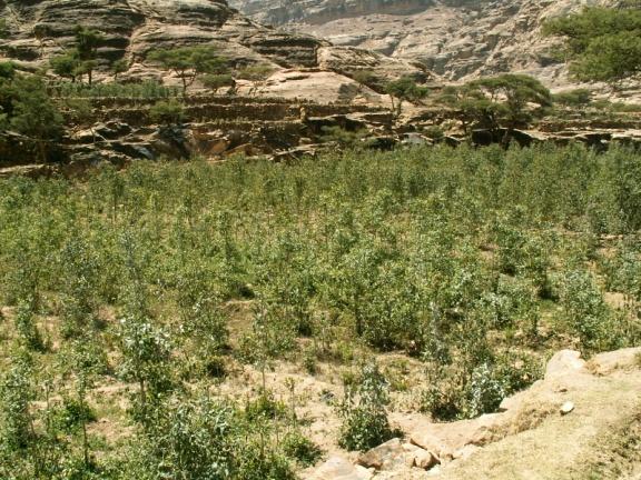 580 - Wadi Gazuan - Qat plantation.jpg