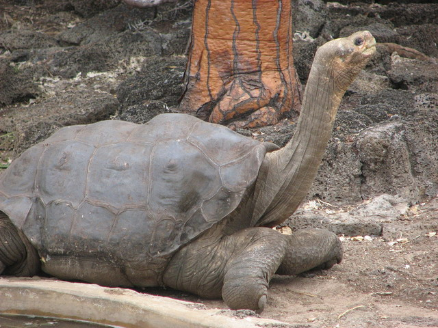 800px-Lonesome_George_in_profile copy.jpg