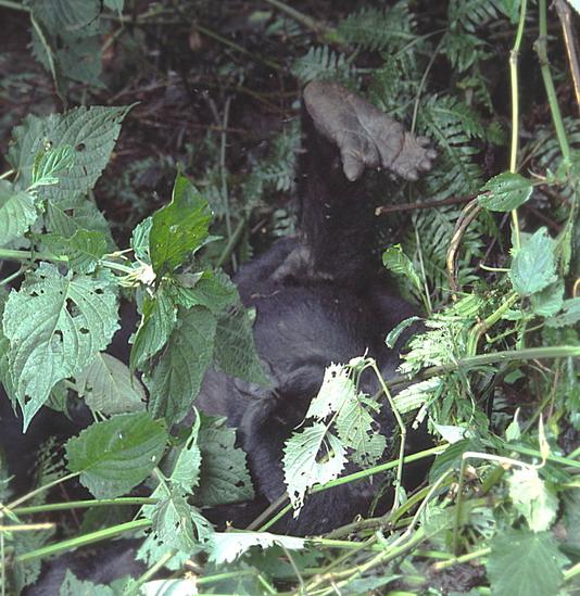 gorillakéz.jpg