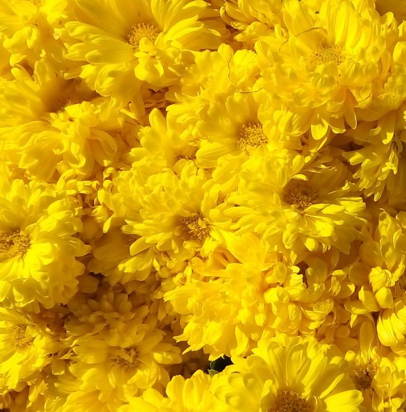 chrysanthemum_nemeth_gyorgy_foto.jpg