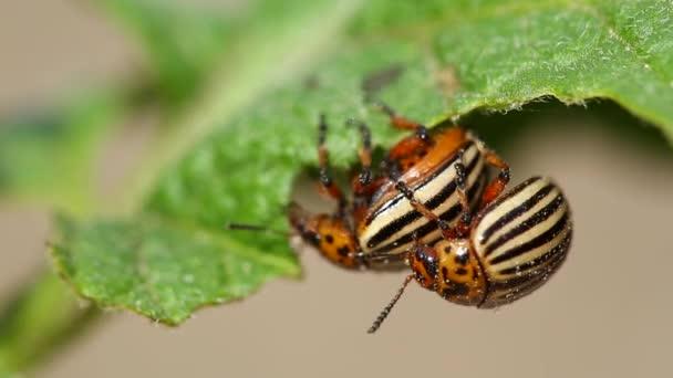 depositphotos_184252608-stock-video-two-colorado-striped-beetles-leptinotarsa.jpg