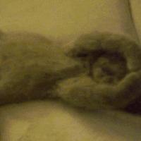 Cuki cica gif