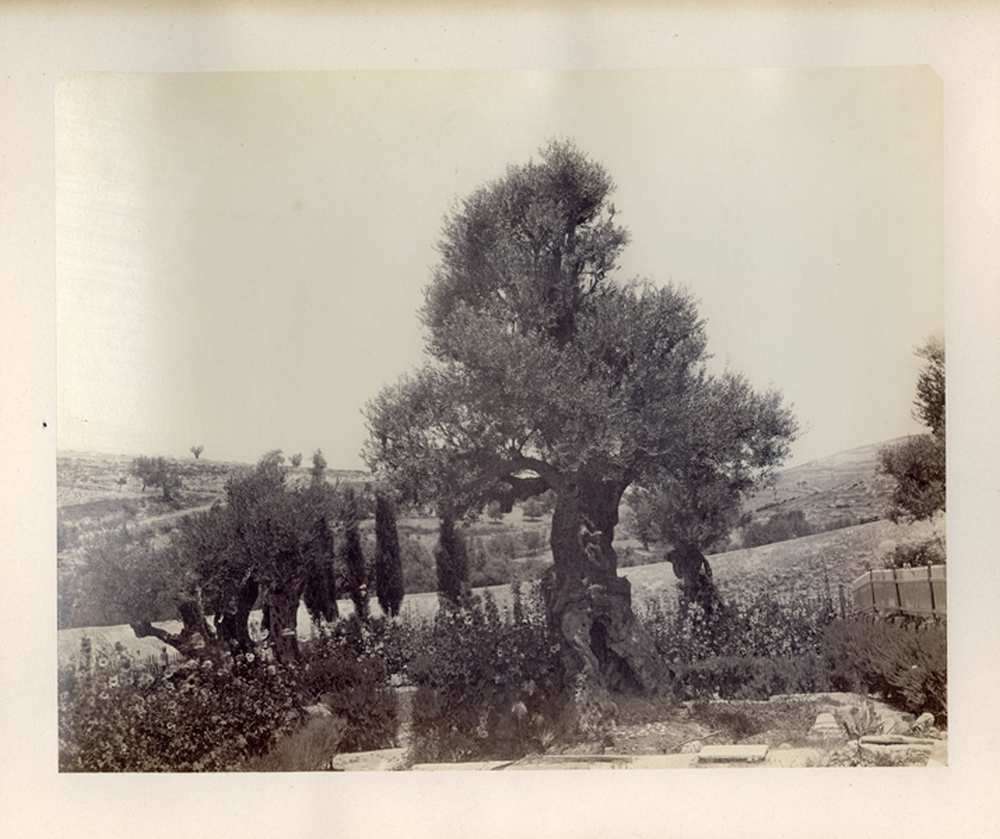 Krisztus fája a Getszemáni-kertben, FTD 0189