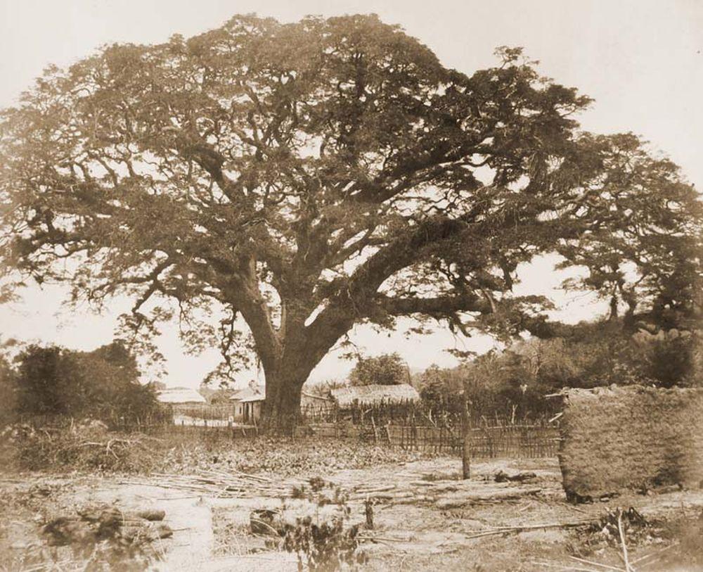 A nagy Zamang fa Turmeo mellett. (Venezuela). Jelzet: FTD 129 – Történeti Fénykép- és Videótár