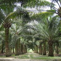 Pálmaolaj és fenntarthatóság - mentsétek meg az orángutánokat