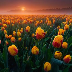 Tulipánföldről sok szeretettel
