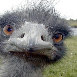 Találtunk egy állati érdekes dolgot: emuolaj!