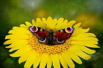 Micsoda pillangó!