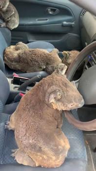Ezek a kamaszok! Koalákat mentettek!