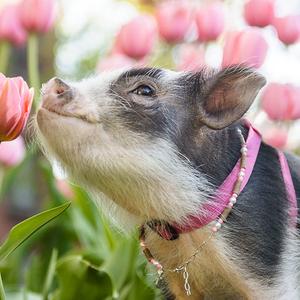 Virágvasárnapra cuki malacka a tulipánok között