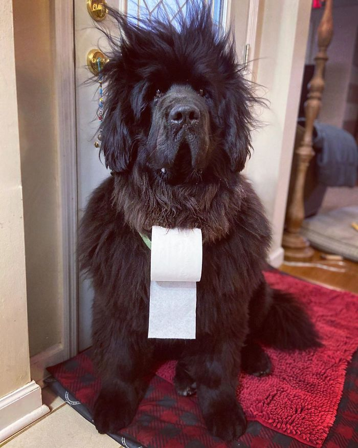 hank-the-newfoundland-dog-hairstyles-1-1-5e8acfbfbac72_700.jpg