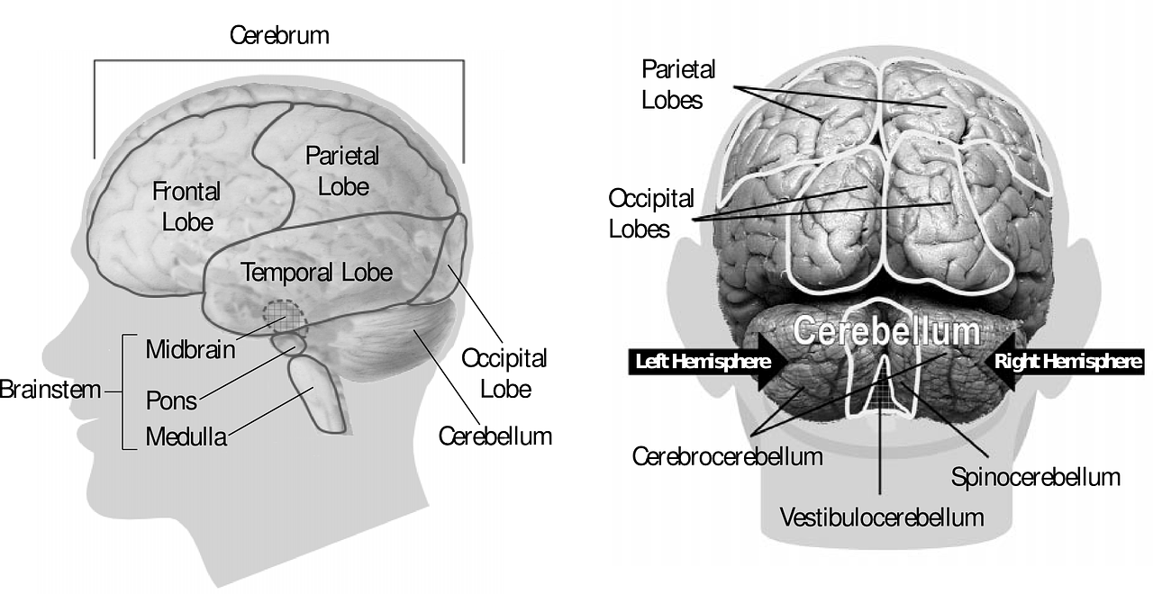 brain-anatomy.png