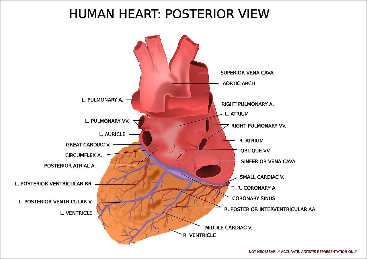 heart-anatomy.png