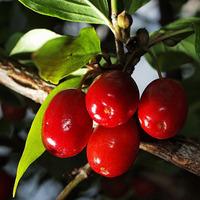 Az ősz ajándéka a som termése