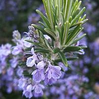 Rozmaring, antósfű, rozmarin, szagos rozmaring – a szegények tömjénje, szüzek virága