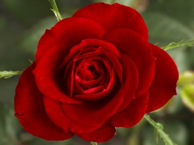 Red_Rose_1.jpg