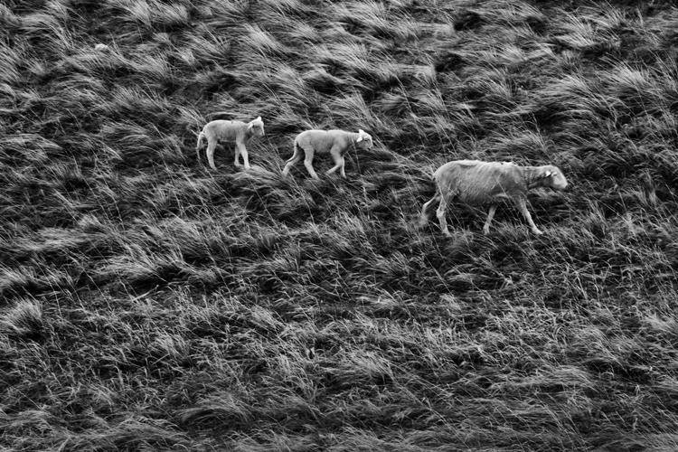 2011-4-28_lost_sheep_final_5-9-2011_750.jpg
