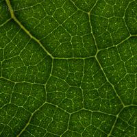 Növényi hatékonyság: levelek érhálózata