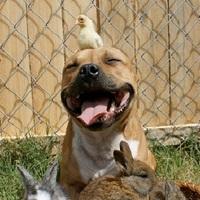 """Megint pit bull hisztéria – megtagadták a """"veszélyes kutyák"""" biztosítását az USA-ban"""