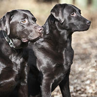A legnépszerűbb kutyafajták toplistája