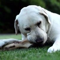 Adjunk-e csontot a kutyának? Szakértői érvek itt
