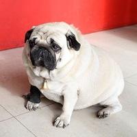 Rengeteg a kövér kutya – Kisállat-elhízási nap Amerikában