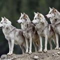 Farkasok és kutyák - a tudományos tények