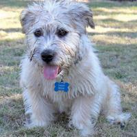 Ritka fajták: Glen of Imaal terrier