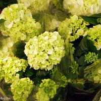 A csodálatos hortenzia nyomában