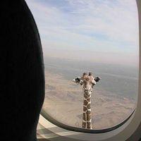 Befigyel a zsiráf