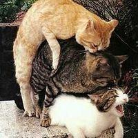 Macska gangbang
