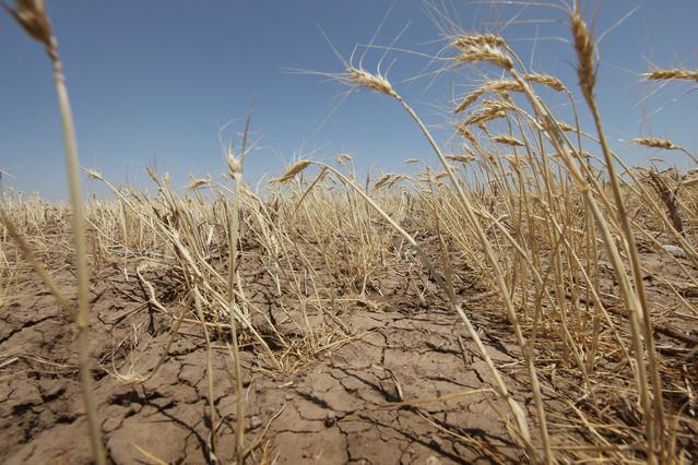 kansas-wheat-drought.jpg