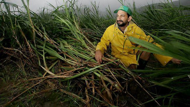sugarcaneflat.jpg