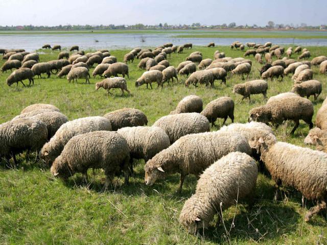 A bárányokról és a farkasokról szakszerűen