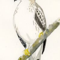 Koronás fejű turul madár