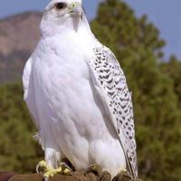 A gyönyörű fehér turul madár